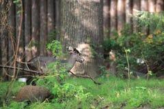 Michie a orné des cerfs communs Photographie stock libre de droits