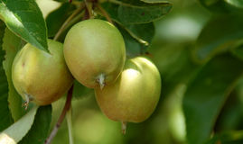 Michigan Apple Tree Royalty Free Stock Image