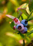 Michigan blueberries on the vine. Close up of ripening sweet Michigan blueberries still on the vine Stock Photography