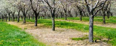 Michigan cherry trees panorama Stock Photo