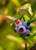 Michigan czarne jagody na winogradzie Fotografia Stock