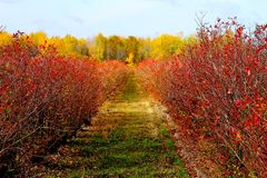 Michigan Fall Blueberry Field. This close up image of a Blueberry field shot in Oct. of 2014, invites the viewer to walk right in and journey to the distant stock image