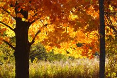 Michigan Fall Trees. This picture glows with golden fall light and color as the two trees are back lit with the gentle morning rays of the sun. A meadow of stock photos