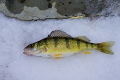 Michigan Freshwater Yellow Perch. Yellow perch caught in a freshwater stream in Michigan in January Stock Images