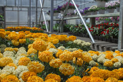 Michigan greenhouse Marigolds for seasonal summer planting. Flats and racks of fresh spring flowers with copyspace. Stock Image