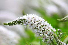 Michigan lösa blommor Arkivbild