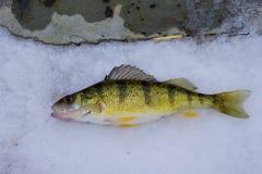 Michigan sötvattens- gul sittpinne Arkivbilder