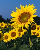 Michigan solrosfält royaltyfri foto