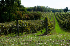 Michigan vineyard Stock Images