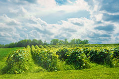 Michigan Vineyard with Sun Rays. Sun rays creating a majestic backdrop for a summer vineyard in Southern Michigan Royalty Free Stock Photos