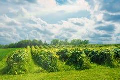 Michigan vingård med solstrålar royaltyfria foton