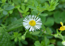 Michigan Wild Daisy. Taken in a local park Stock Images