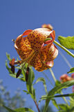Michigan Wild Lily (Lilium Michiganense). Michigan wild lily captured amonst the flora in the marsh Stock Photography