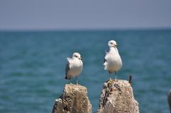 Michigansee-Weiß-Seemöwen Stockfoto