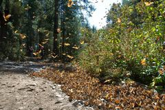 Monarch butterflies arriving at a forest in Michoacan stock image