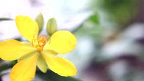 Mickey Mouse flowers stock footage