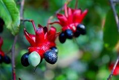 Mickey mouse plant, Bird's Eye Bush, Ochna kirkii stock photo