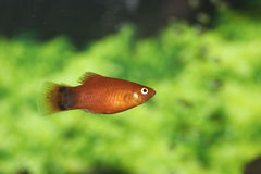 Mickey Mouse Platy 703957. Mickey Mouse Platy in Aquarium 703957 Xiphophorus maculatus royalty free stock photos