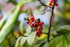 The mickey mouse tree, Thai plants Stock Photography