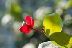 Micky老鼠植物 库存图片