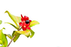 Micky mouse flower Royalty Free Stock Photo