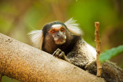 Mico Estrela - Callithrix penicillata Monkey. Monkey Mico estrela looking for food at the forest Stock Image