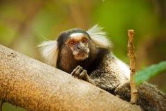 Mico Estrela - singe de penicillata de Callithrix Image stock