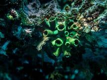 Micrantha coralino de Tubastrea de la taza oscura Imágenes de archivo libres de regalías