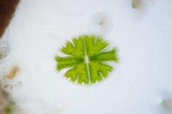 Micrasterias är en encellig grön alg Fotografering för Bildbyråer