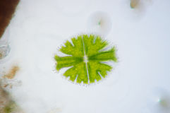 Micrasterias is a unicellular green alga Stock Image
