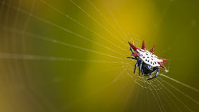 Micrathena Spinne lizenzfreies stockbild