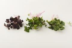Micro зеленеет разнообразие на белой предпосылке Стоковое Изображение RF