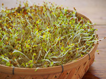 Micro broto verde da alfafa Fotografia de Stock Royalty Free