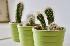 Micro Cactai conservato in vaso fotografie stock libere da diritti