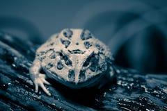 Micro cornuto della rana del Surinam Immagini Stock Libere da Diritti