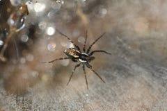Micro dettagli della preda aspettante del ragno Fotografia Stock
