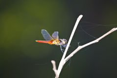 Micro Dragonfly Stock Image