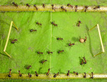 Micro football - ants soccer. Ants playing soccer with pepper seed Stock Photo