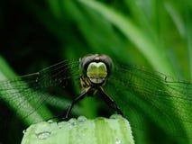 Micro fotografia di un'ape su erba Fotografia Stock Libera da Diritti