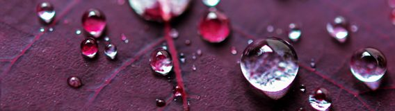 Micro gocce di acqua sulla foglia porpora della pianta Immagini Stock Libere da Diritti