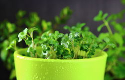 Micro green in ceramic pots. With water drops royalty free stock photo