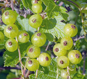 The micro of green redcurrant. On the bush Stock Image