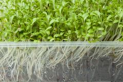 Micro-green salad with roots in a plastic container, close-up. Detoxification and weight loss stock photos