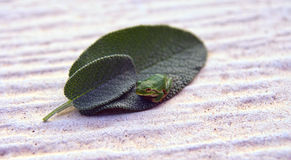 Micro green treefrog. Green treefrog , Hyla Arborea on a sage leaf Royalty Free Stock Image
