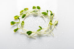 Micro greens arranged in circle on white background with water drops. Sunflower sprouts, microgreens. Flat lay. Nature Stock Image