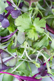 Micro greens close-up. Close up of mixed fresh organic micro greens to use in salads or other recipes stock image