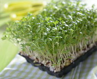 Micro greens Stock Image