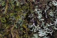 Micro Habitat. Lichens and mosses growing on bark of Douglas Fir. Oregon Royalty Free Stock Images