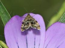 Micro-lepidottero del Ortica-rubinetto Fotografie Stock Libere da Diritti