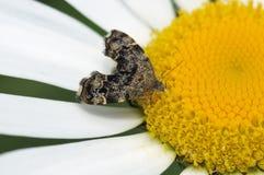 Micro-lepidottero del Ortica-rubinetto Immagine Stock Libera da Diritti